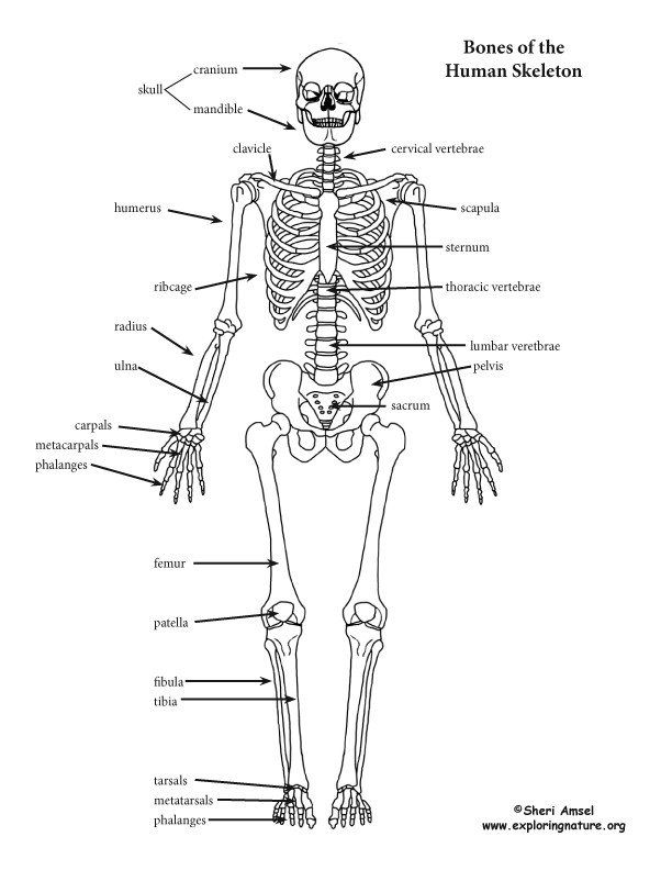 Skeletal system worksheet pdf an introduction to the human reading comprehension